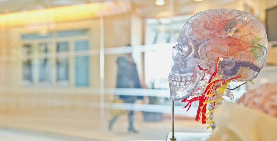 Museum human head circulatory system